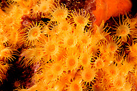 Parazoanthus axinellae, Subspecies Parazoanthus axinellae adriaticus, Orange Krustenanemone, Yellow Encrusting Anemone, Adria, Adriatisches Meer, Mittelmeer, Kornaten, Kroatien, Adriatic Sea, Mediterranean Sea, Kornati Islands, Croatia