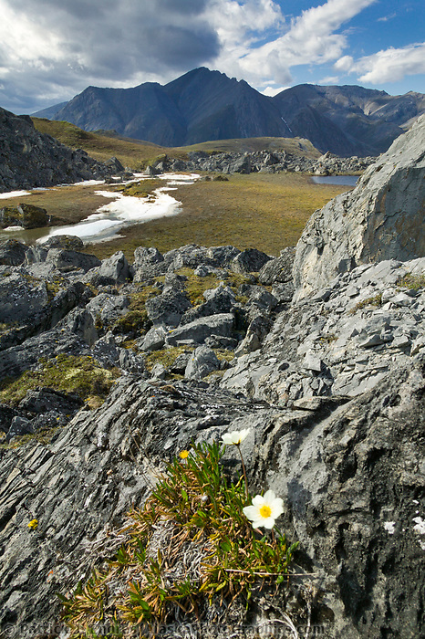 Mountain aven wildflower, Brooks Range mountains, Arctic National Wildlife Refuge, Alaska