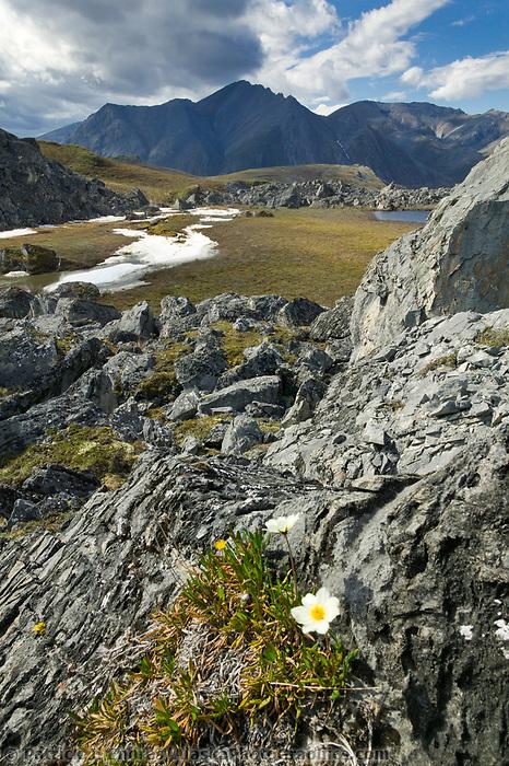 Mountain aven wildflower, Brooks Range mountains, Arctic National Wildlife Refuge, Alaska
