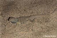 0612-1002  Male Great Basin Collared Lizard (Mojave Black-collared Lizard), Mojave Desert, Crotaphytus bicinctores  © David Kuhn/Dwight Kuhn Photography