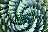 "Spiral Aloe, Aloe polyphylla - Canvas Giclée Print, 32"" x 48"" - $1000"