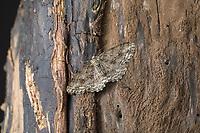 Zackenbindiger Rindenspanner, Pflaumenspanner, Ectropis crepuscularia, Ectropis bistortata, Boarmia bistortata, Engrailed, Small Engrailed, Small Engrailed Moth, hieroglyphic moth, La Boarmie crépusculaire, Boarmie bi-ondulée, Spanner, Geometridae, looper, loopers, geometer moths, geometer moth