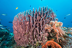 Russell Islands, Solomon Islands; a large, purple barrel sponge on the reef