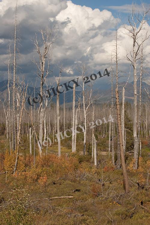 Dead trees off Camas Road