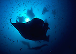 Mantas (Manta birostis) predictably found Hanifaru Bay;