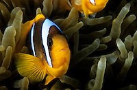 Clownfish inside a magnificent sea anemone in the Red Sea, Egypt.