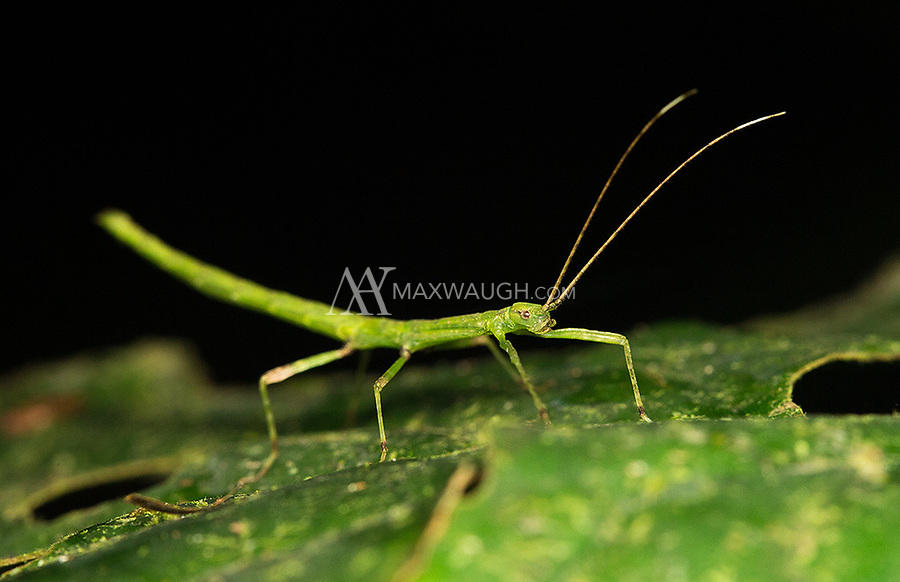 Many jungle insects employ mimicry to outwit predators.