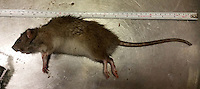 BNPS.co.uk (01202 558833)<br /> Pic: TerryWalker/TPPestControl/BNPS<br /> <br /> A pest controller has snarred a monster rat which is the size of a cat.<br /> <br /> At almost 19 inches long the specimen, Rattus rattus, is the largest that professional pest controller Terry Walker has caught in his career. <br /> <br /> It was caught with the help of his dog Max, a Manchester Tanner Cross Pinscher, at a business estate in Poole, Dorset.