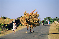 India, Rajasthan, near Udaipur: Camel carrying dry grass along country road | Indien, Rajasthan, bei Udaipur: Dromedar als Lasttier