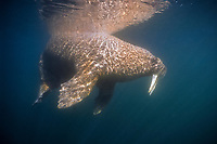 Atlantic walrus, Odobenus rosmarus rosmarus, one of three subspecies of walrus, Odobenus rosmarus, swimming, near Igloolik, northern Baffin Island, Nunavut, Canada, Foxe Basin, Atlantic Ocean, Arctic Ocean