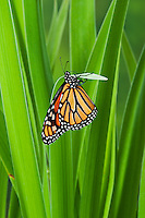 Monarch butterfly (Danaus plexippus) on blue flag iris (Iris versicolor), summer, North America.