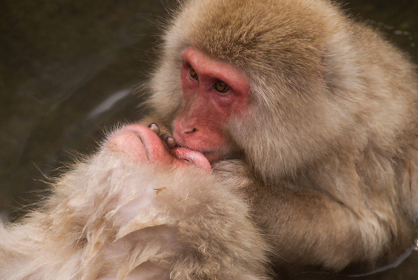 Japanese macaques, or snow monkeys, bathing in the hot springs baths at Jikokudani Yaen Park, Nagano, Japan.