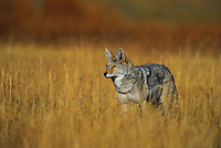 COYOTE. Autumn..Rocky Mountains..(Canis latrans).