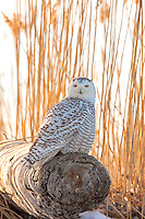 Snowy Owl on Driftwood Log  #B122