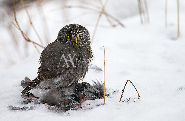 This pygmy owl was feeding on a pine grosbeak it had killed earlier in the day.