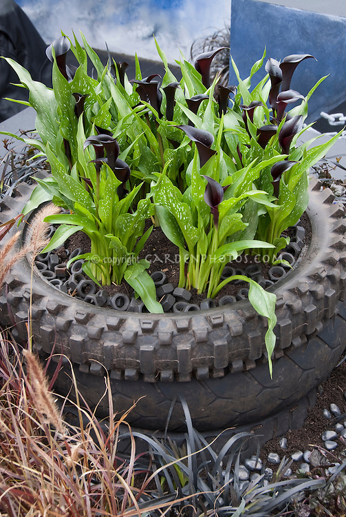 Calla Lilies in Tire Planter, Zantedeschia for a cute and funny container garden of summer bulbs, with dark purple almost black flowers