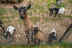 Domestic Goat (Capra hircus) female and kids in pen, France, France