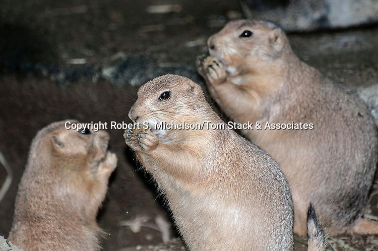 Prairie dog family standing on hind legs eating