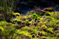Yellow flowers of Brittlebrush (Encelia farinosa),cholla catus, red Chuparosa and Ocotillo. Anza Borrego Desert State Park, California