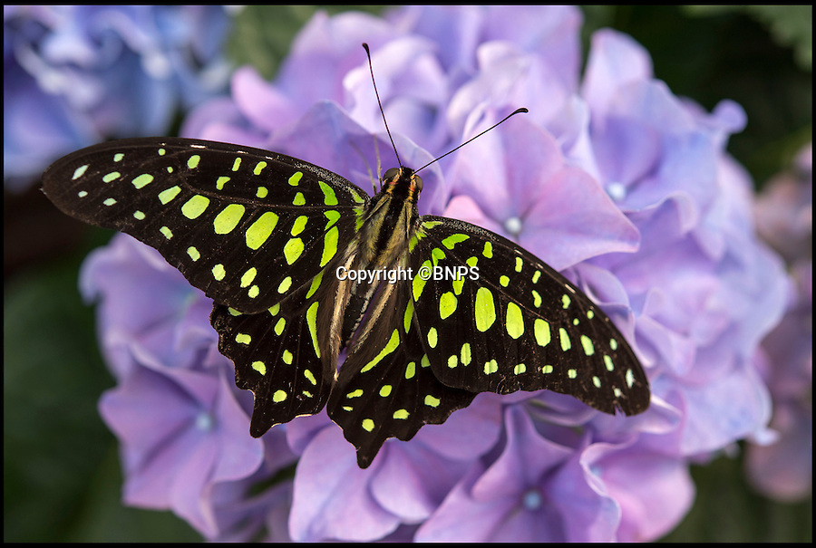 BNPS.co.uk (01202 558833)<br /> Pic: PhilYeomans/BNPS<br /> <br /> A beautiful Tailed Jay (Graphium agamemnon) from South Asia.<br /> <br /> Cold snap no problem for Blenheim's hot house butterflies...<br /> <br /> More than 5,000 native and exotic butterflies have started to emerge in Blenheim Palace's hot and humid Butterfly House.<br /> <br /> Head Gardener, Hilary Wood released dozens of exotic species from Malaysia, Africa, and the Philippines alongside a selection of native butterflies.<br /> <br /> Alongside the live butterflies that arrive in large boxes, staff also delivered around 180 pupae from Africa and the Philippines which have been placed in the Butterfly House's hatchery area where visitors can see them develop within their chrysalises.<br /> <br /> Garden staff have planted a wide variety of nectar-rich flowers including marguerite, black eyed Susan's, hydrangea and hibiscus. There are also sugar bowls and fruit from which the butterflies can feed.