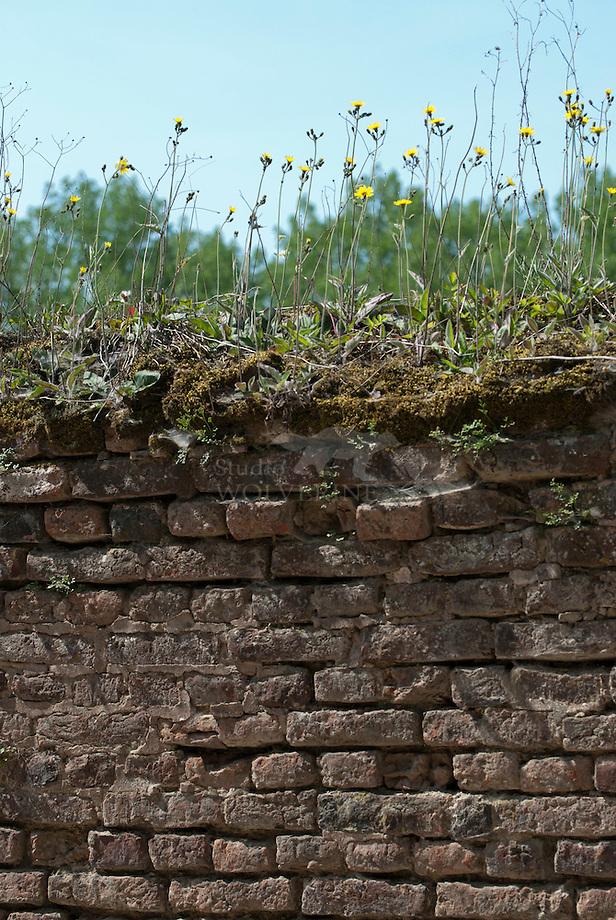 Begroeide muur van kasteel Neuburg - Limburg