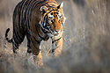 India, Rajasthan, Ranthambhore National Park, male Bengal tiger walking in grassland, front view