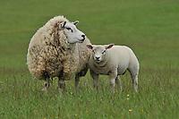 Beltex ewe and lamb, Moffat, Scottish Borders...Copyright..John Eveson, Dinkling Green Farm, Whitewell, Clitheroe, Lancashire. BB7 3BN.01995 61280. 07973 482705.j.r.eveson@btinternet.com.www.johneveson.com