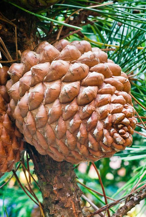 Pinus radiata Monterey pine pinecones cones