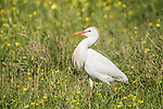 Brazoria County, Damon, Texas; a Cattle Egret foraging for food in a pasture filled with yellow wildflowers in early morning sunlight