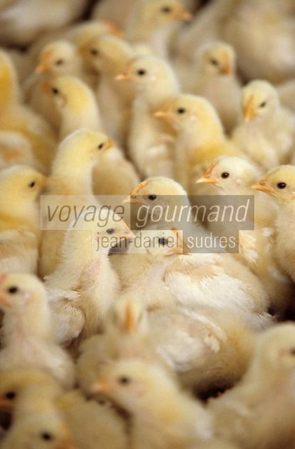 Europe/France/Bourgogne/71/Saône-et-Loire: Louhans: Poussins dans un élevage de poulets de Bresse AOC