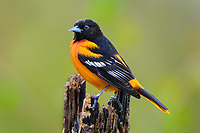 Male Baltimore Oriole (Icterus galbula). Great Lakes Region. May.