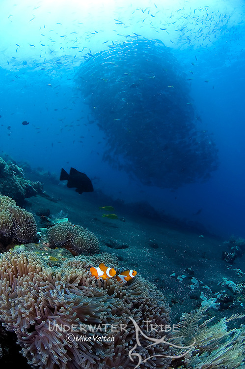 False clownfish, Amphiprion ocellaris, in magnificent anemone, Heteractis magnifica, with a school of horse-eye jacks, Caranx sexfasciatus, Tulamben, Bali, Indonesia, Pacific Ocean