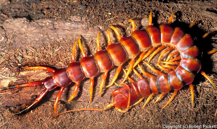 Giant centipede - (captive), South America, jungle tropical rainforest  .South America....