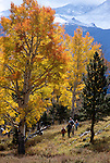 A family of five hiking beneath fall-color aspen trees in Rocky Mtn Nat'l Park, CO.