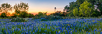 Texas Bluebonnet Sunset Landscape Pano - Texas bluebonnets in the hill country with cactus, a windmill, and a sunset panorama on one of the many back roads we traveled over the last six weeks is a great last minute find. It is always a delight when we can find a nice field of texas bluebonnet wildflowers with prickly pear cactus and a windmill with a great sunset in the sky for that traditional Texas Hill country landscape.  This is the iconic Texas scenery in the hill country that we have come to expect. The blue bonnet season is coming to an end for the bluebonnets in the hill country but just around the corner is the other wildflowers that should be popping up  shortly to take it place.