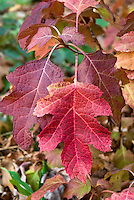Hydrangea quercifolia 'Little Honey' Oakleaf Hydrangea in autumn fall foliage color
