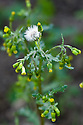 Groundsel (Senecio vulgaris), end April.