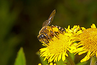 Yellow-legged Mining-Bee - Andrena flavipes