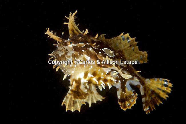 Histrio histrio, Sargassumfish, Dominica