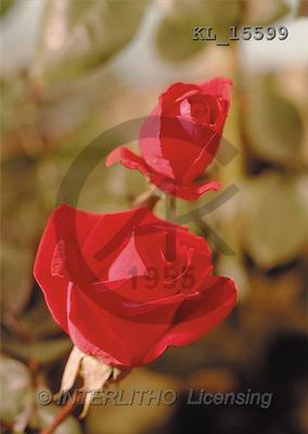 Interlitho, Erica, FLOWERS, portrait, macro, photos, 2 red roses, KL, KL15599,#F# Blumen, flores, retrato