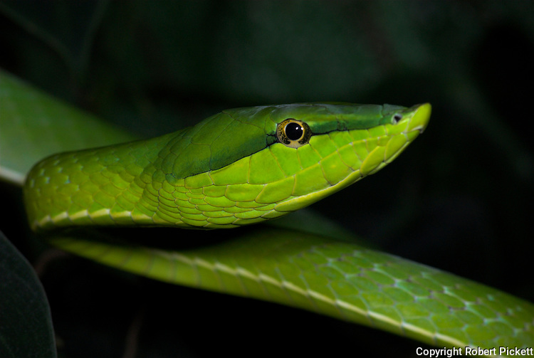 Green Vine Snake, Oxybelis fulgidus, is a long, slender arboreal Colubrid, inhabits Central America and northern South America, portrait