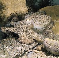 Common Octopus - Octupus vulgaris