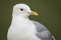Mew Gull (Larus canus). Anchorage, Alaska. Photo by James R. Evans