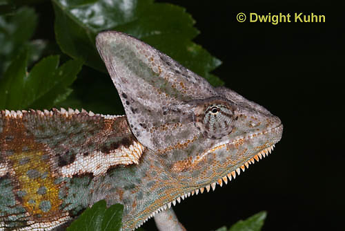 CH51-513z  Male Veiled Chameleon in display color,  Chamaeleo calyptratus
