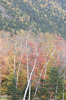 White Mountain forest - autumn; October; NH, Crawford Notch