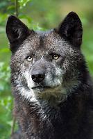 Wolf (Canis lupus), zwarte kleurslag