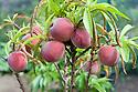 Peach 'Peregrine', mid July.