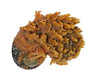 sponge<br /> Hymeniacidon perleve