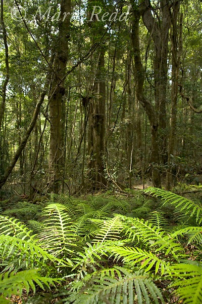 Ferns, Green Mountains section of Lamington National Park, Queensland, Australia