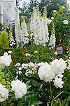 A vignette of white delphinium stalks, peonies, and roses in the Sissinghurst-style white garden behind the farmhouse on this property about one hour north of Seattle in the Skagit Valley. Garden design by Toni Christianson, Christianson's Nursery